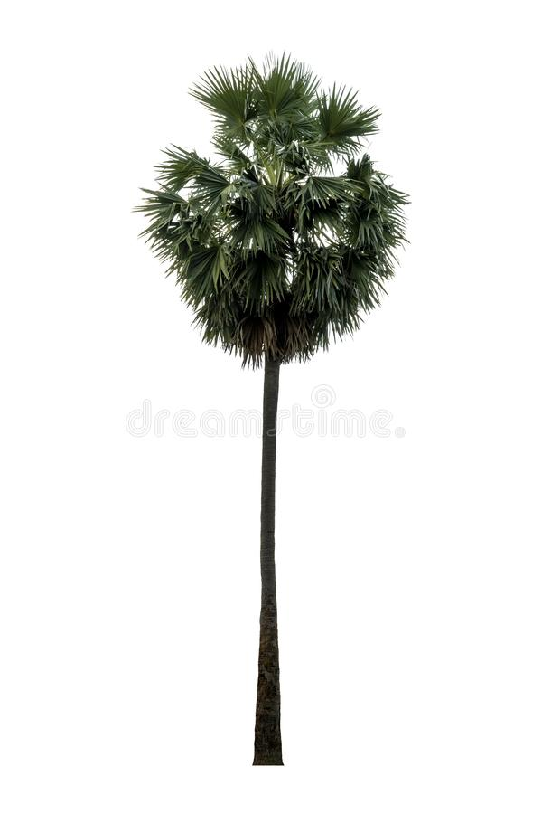 Washington Palm Tree a isol? sur le fond blanc avec une haute r?solution appropri?e au graphique image stock