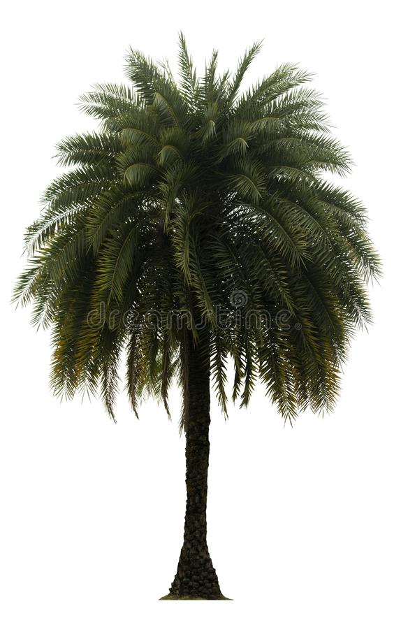 Washington Palm Tree a isol? sur le fond blanc avec une haute r?solution appropri?e au graphique photo libre de droits