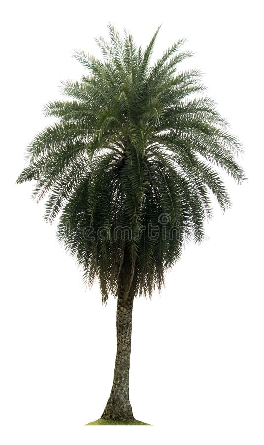 Washington Palm Tree a isol? sur le fond blanc avec une haute r?solution appropri?e au graphique images libres de droits