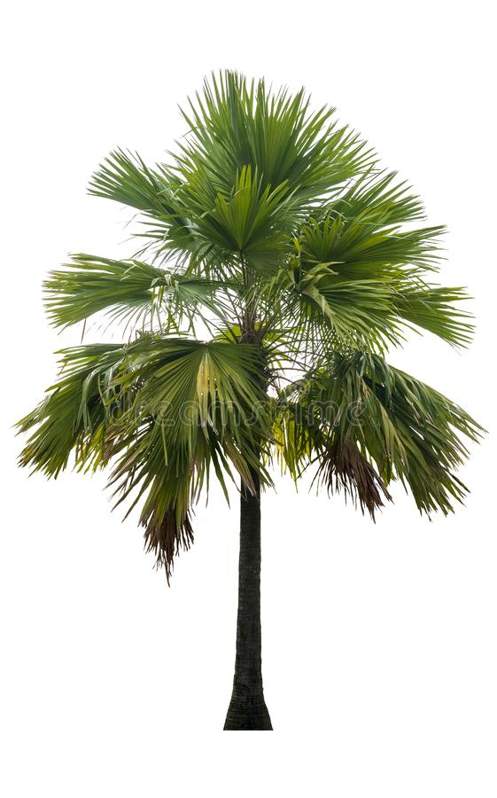Washington Palm Tree a isol? sur le fond blanc avec une haute r?solution appropri?e au graphique photographie stock libre de droits