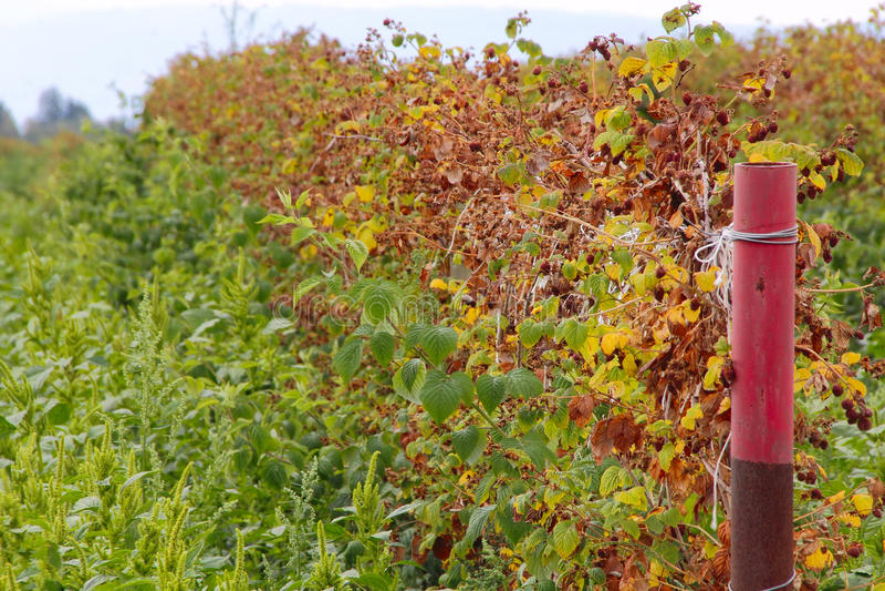 Washington Raspberries arruinado imagens de stock