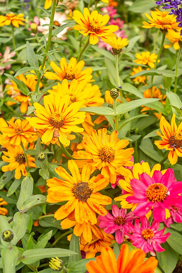bright pink and orange blooming flowers in garden royalty free stock photos