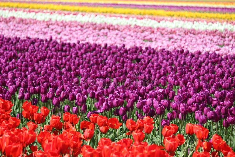 Washington State, tulipanes de Mulitcolor del valle de Skagit imágenes de archivo libres de regalías
