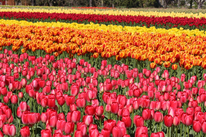 Washington State, tulipanes de Mulitcolor del valle de Skagit fotografía de archivo libre de regalías