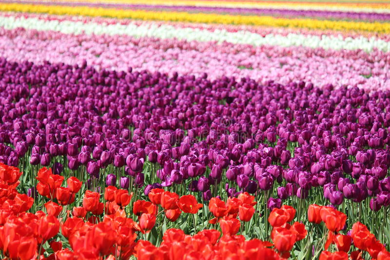 Washington State, tulipani di Mulitcolor della valle di Skagit immagini stock libere da diritti