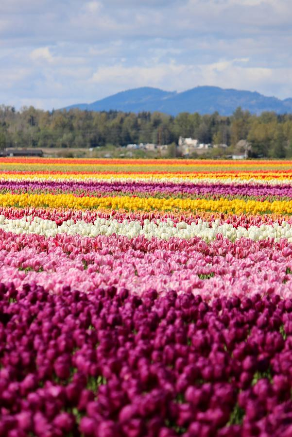 Washington State, tulipas de Mulitcolor do vale de Skagit imagens de stock royalty free