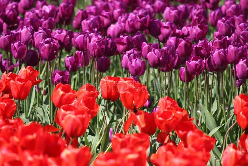 Washington State, tulipas de Mulitcolor do vale de Skagit fotos de stock