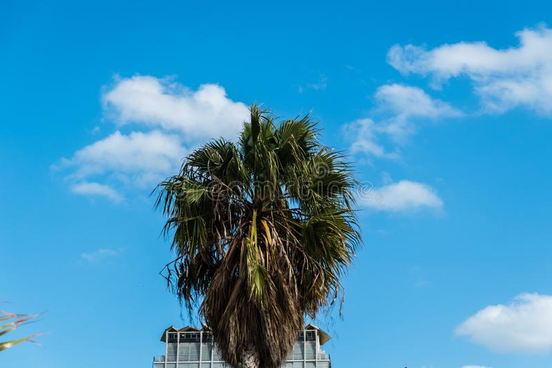 Washingtonia, καλιφορνέζικος φοίνικας στοκ φωτογραφία