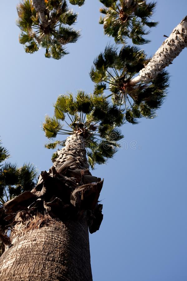 washingtonia de filifera photographie stock