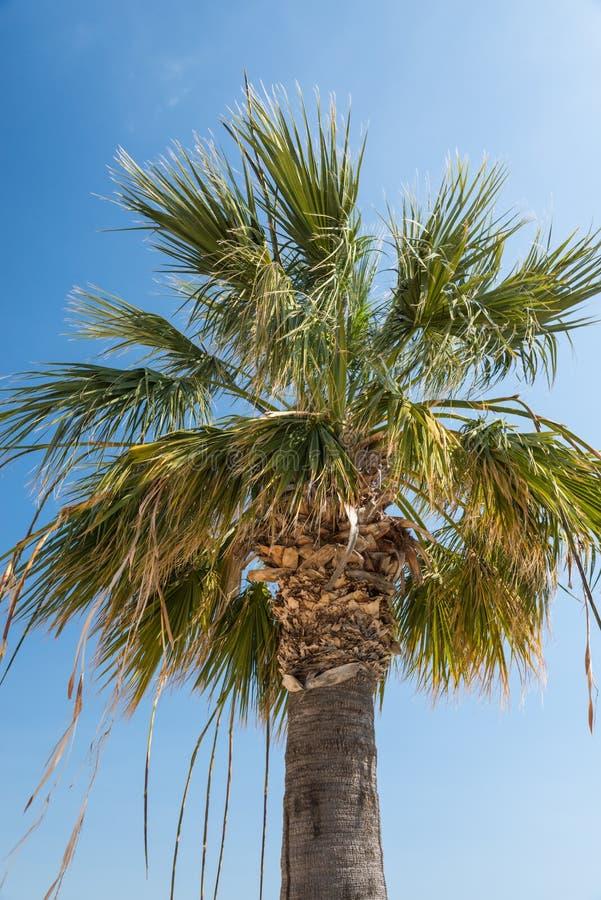 Washingtonia Filifera Palm tree royalty free stock photo