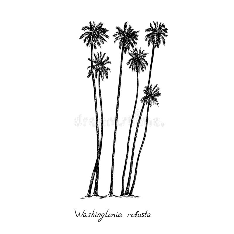 Washingtonia robusta, the Mexican fan palm or Mexican washingtonia trees group silhouette, hand drawn gravure style, vector sketch. Illustration with royalty free illustration