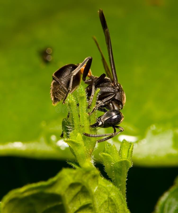 Download Wasp stock image. Image of insect, closeup, wasp, macro - 160159