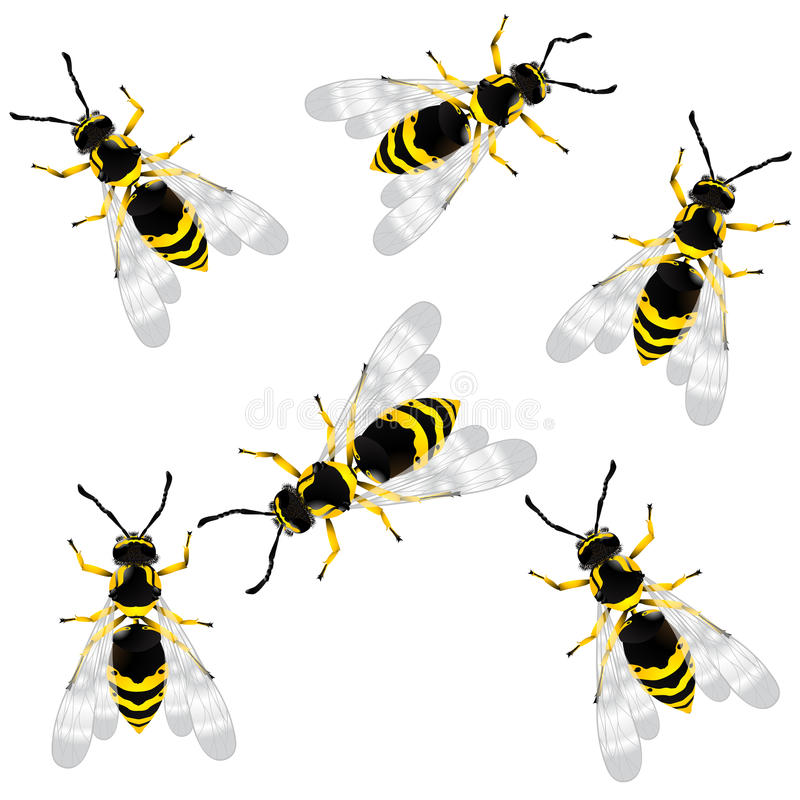 Download Wasp stock vector. Image of aggression, insect, antenna - 16437410