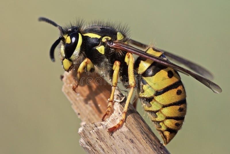 Wasp. Close up of a common wasp (Vespula germanica