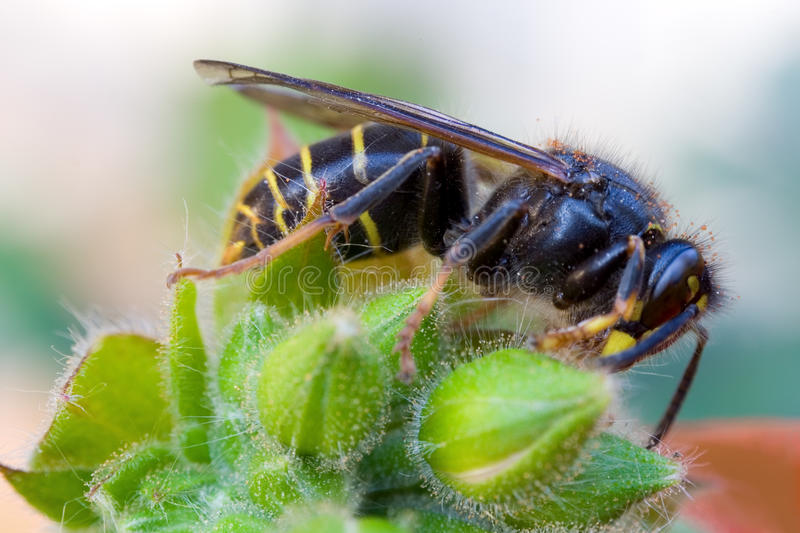 The wasp stock photo