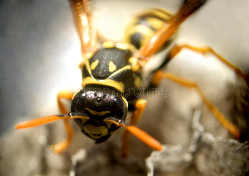 Download Wasp...(2) stock image. Image of nature, beehive, legs - 164475