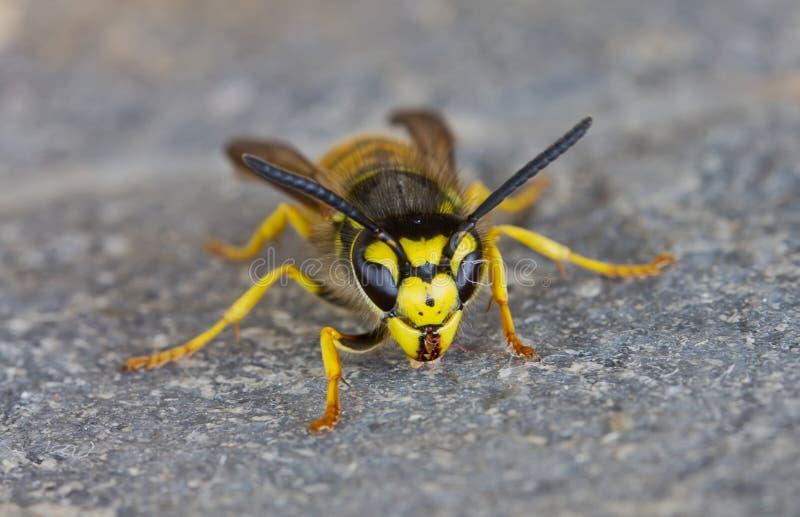 Download Wasp stock image. Image of wildlife, closeup, arthropoda - 21884339