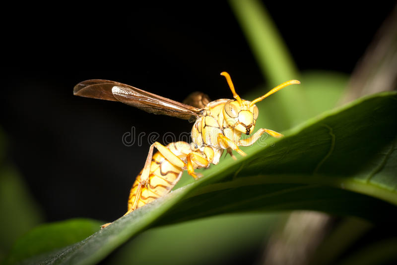 A wasp. On the leaf royalty free stock images