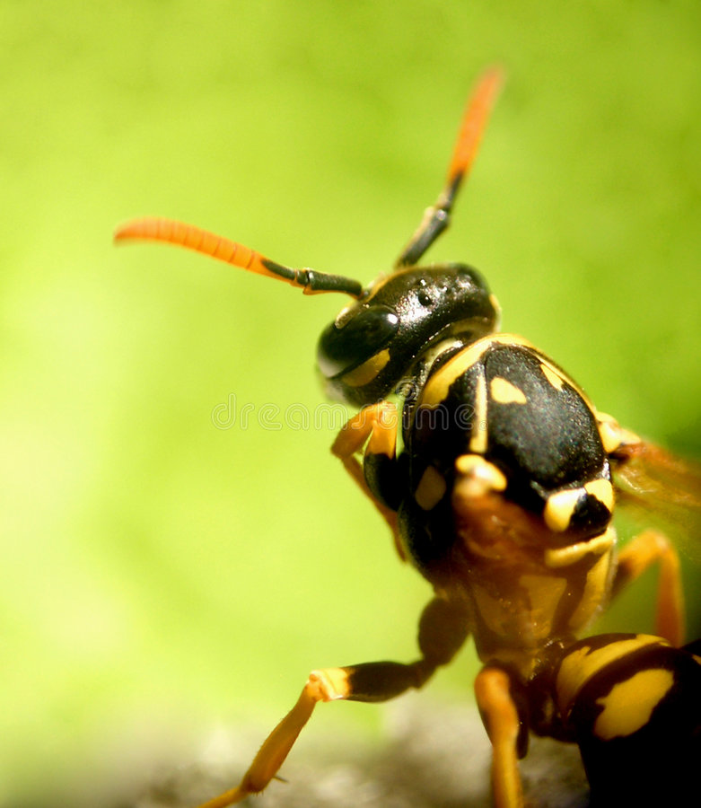 Download Wasp...(3) stock photo. Image of animal, yellow, head, nature - 164476
