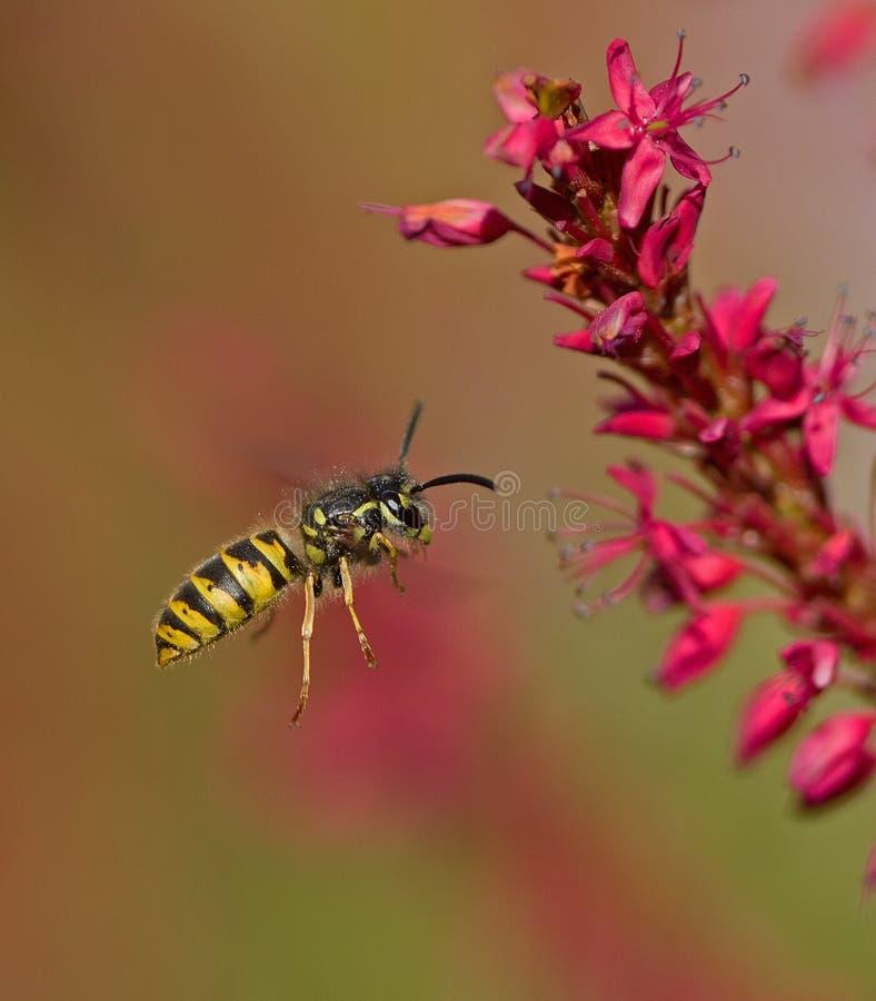 Free Wasp Royalty Free Stock Image - 47422736