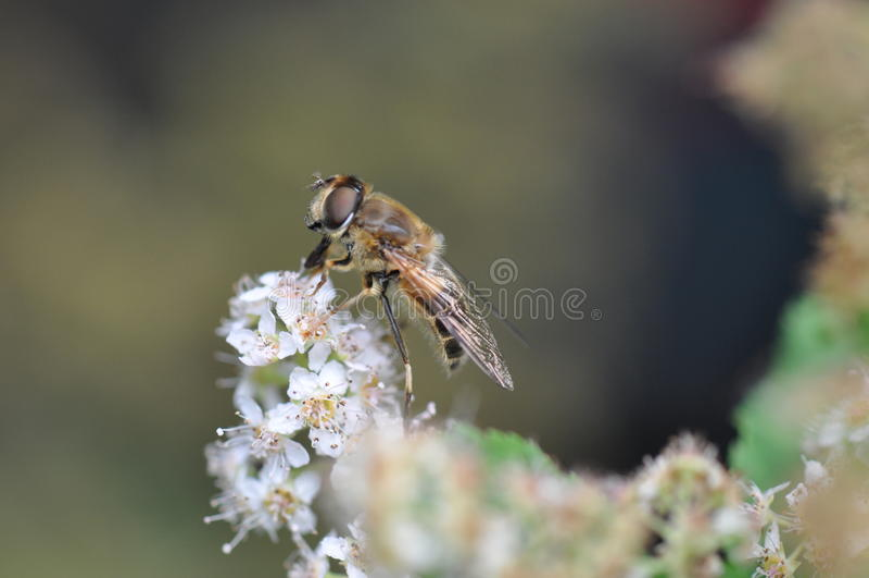 wasp royaltyfria foton