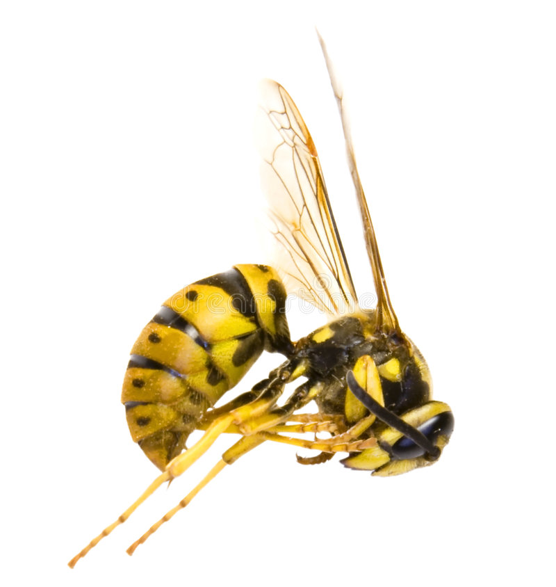 Download Wasp stock image. Image of head, isolated, insects, specimen - 5112939