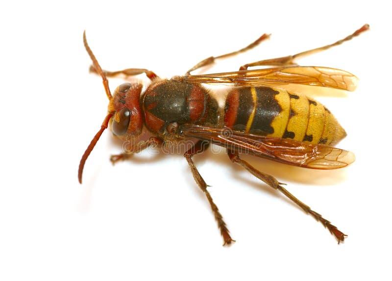 Wasp. Macro isolated on white background royalty free stock photos