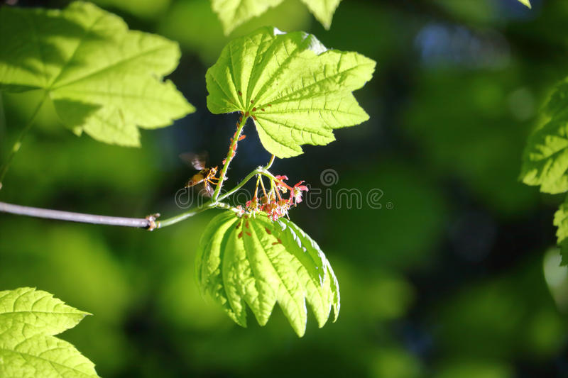Wasp and Aphids. A wasp explores a leaf stem infested with Aphids royalty free stock photos