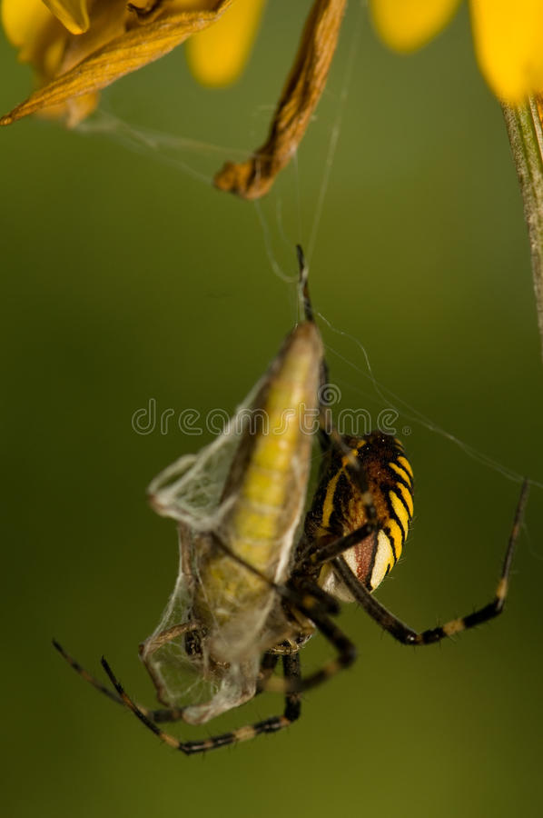 Download Wasp, Argiope bruennichi stock image. Image of danger - 26593993