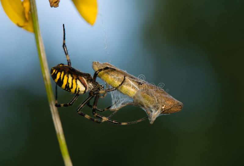 Download Wasp, Argiope Bruennichi Stock Image - Image: 26594051