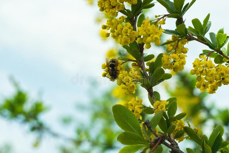 Wasp on the blooming barberry Berberis. Selective focus royalty free stock images