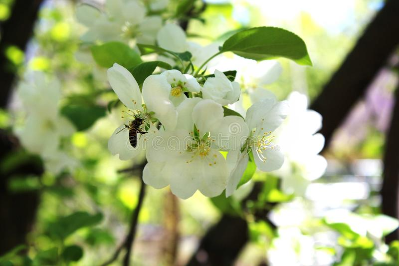 Wasp in a blooming spring in the spring. stock photos