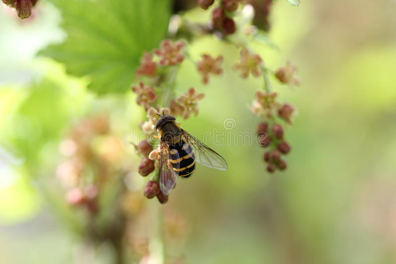 Wasp on a blooming red currant royalty free stock photos
