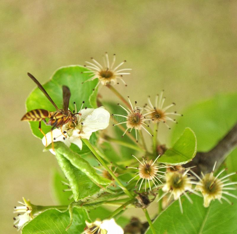 Wasp on Bradford Tree Blooms stock images