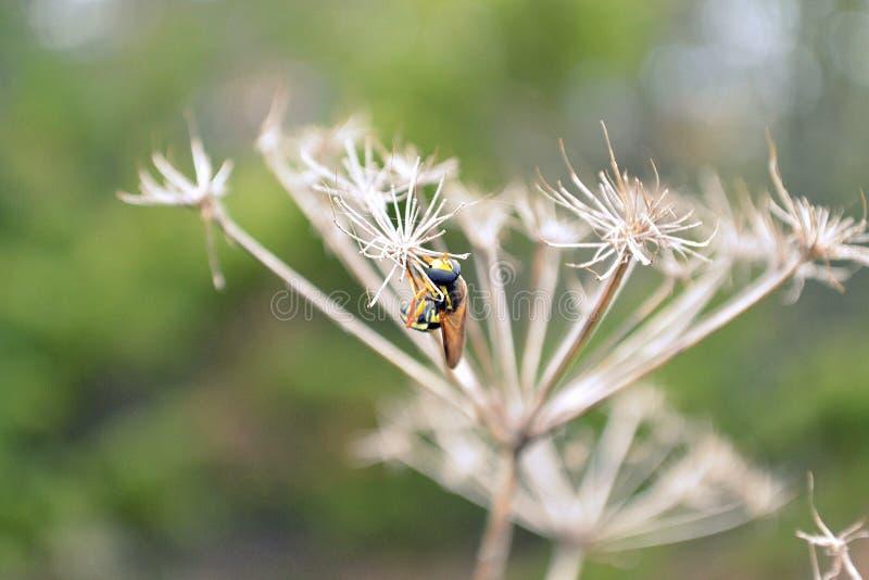 wasp Closeup av en geting på en torr blomma royaltyfria bilder