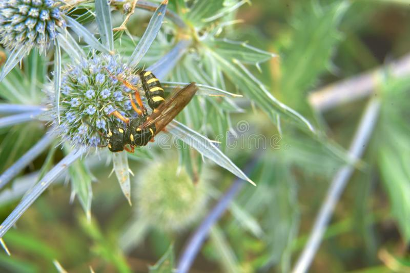 Wasp collects nectar on a blue flower in the background green grass. stock images