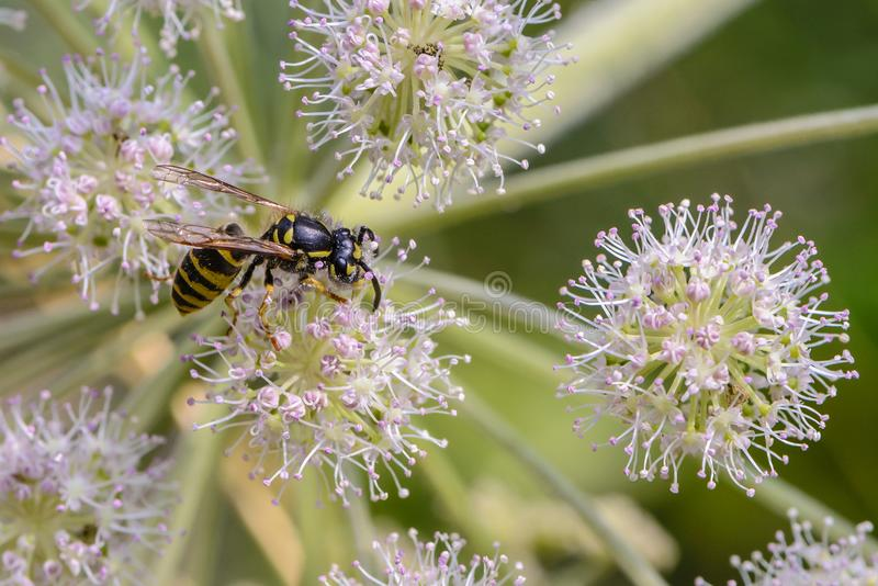 Wasp collects nectar on the bud of the blooming hogweed stock photo