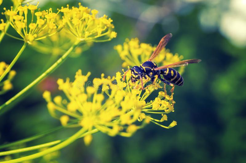 Wasp collects nectar royalty free stock images