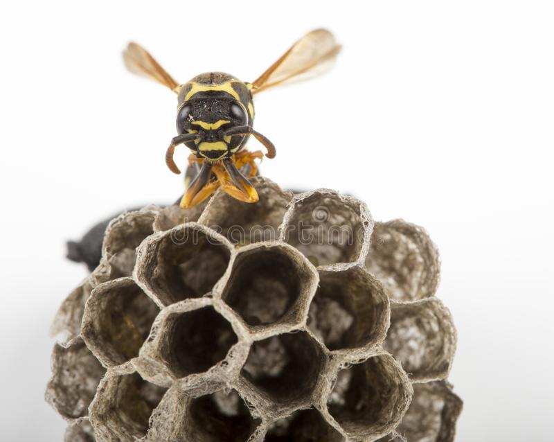 Wasp and nest. Wasp on comb nest with eggs on white background royalty free stock image