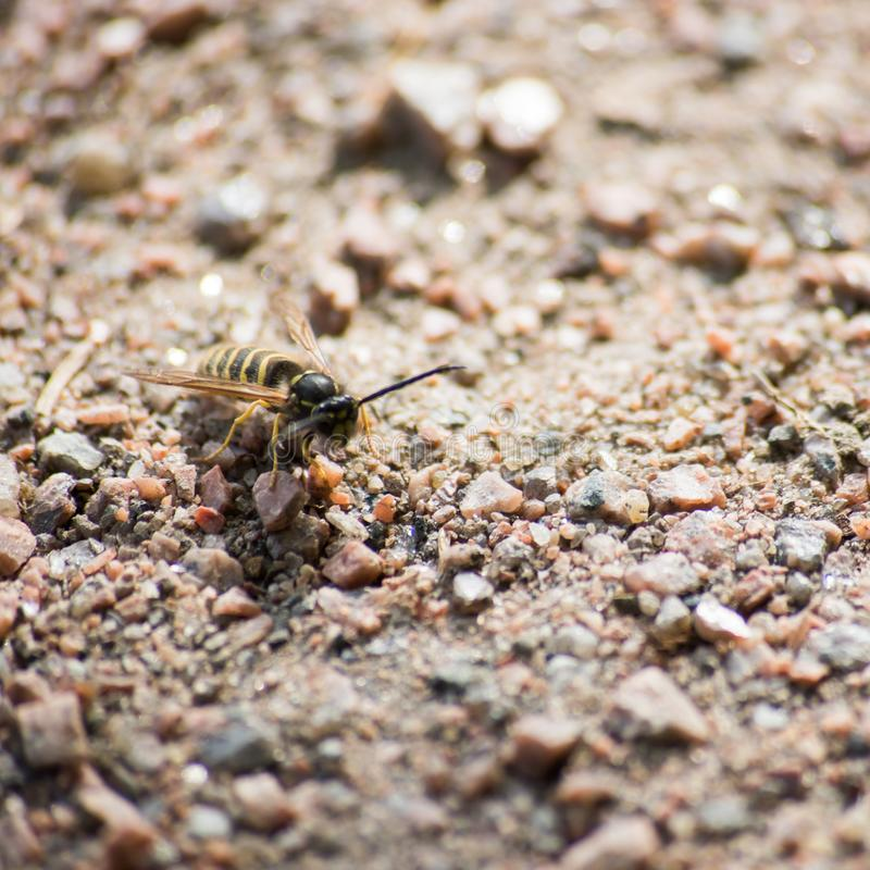 Wasp crawling in the sand, square photo. Wasp crawling in the sand is close royalty free stock photos