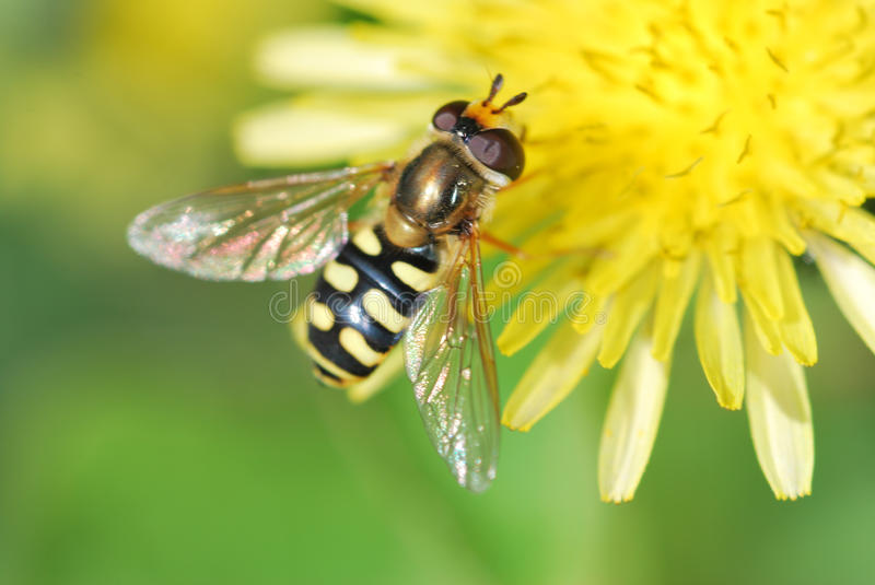 Wasp on Dandelion royalty free stock images