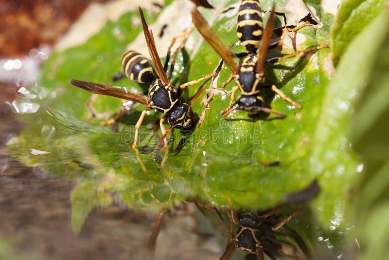 Wasp. Drinking from a birdbath royalty free stock photo