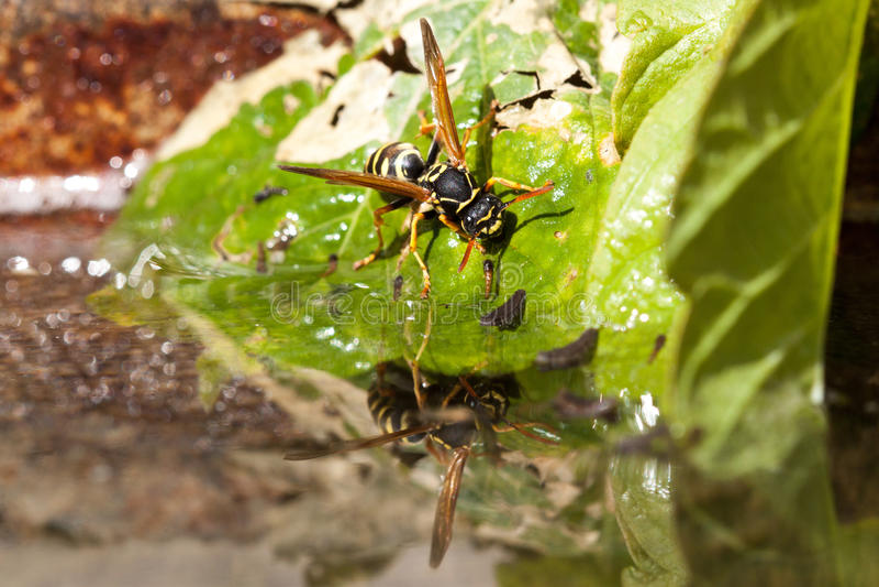 Wasp. Drinking from a birdbath royalty free stock photos