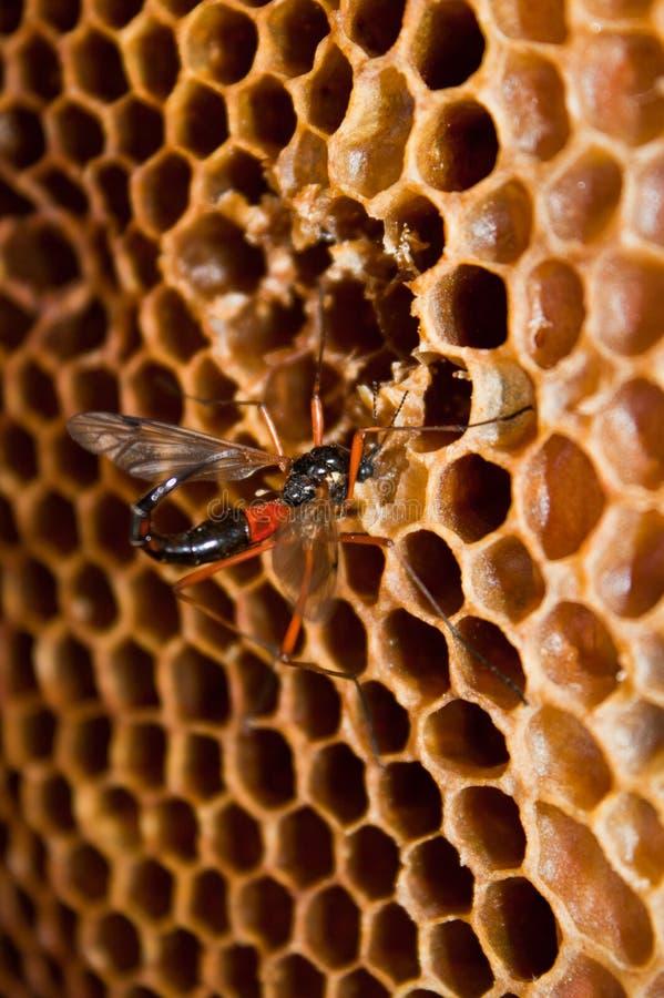 Wasp eating honey stock images