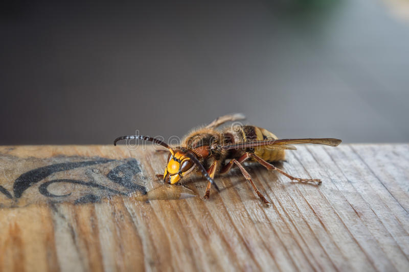 Wasp eating honey. Closeup of wasp eating honey on a wooden plank stock photography