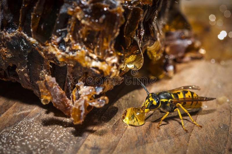 Wasp eating honey. Wasp eating fresh honey pouring of the comb stock photo