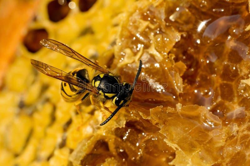 Wasp eating honey stock photo