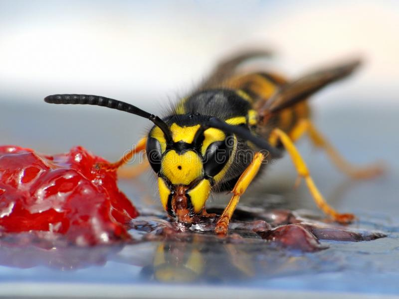 Download Wasp eating jelly stock photo. Image of jelly, wasp, eating - 25465212