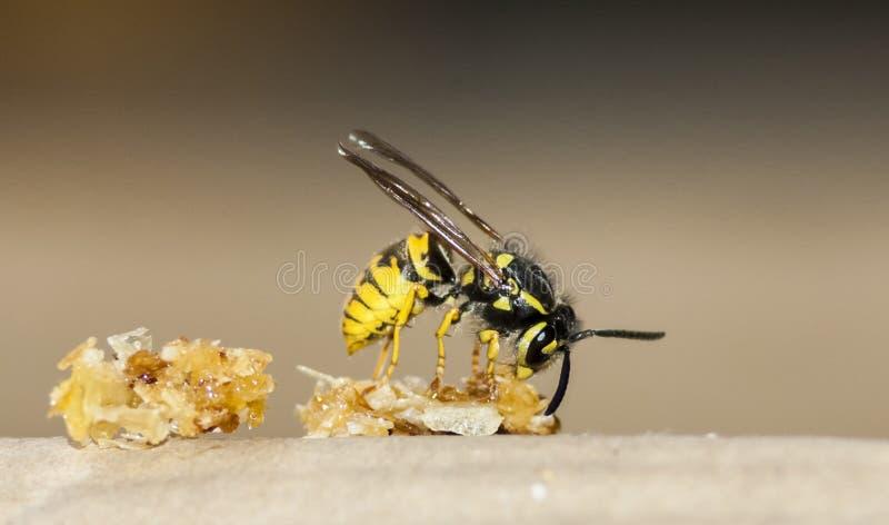 Wasp stock image