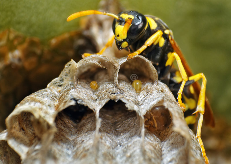 Wasp and eggs stock image